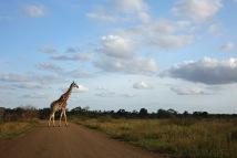 Giraffe DSC00877 (2)