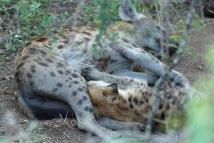 Hyena DSC02200
