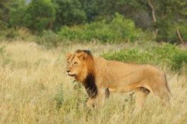 Lion DSC00954